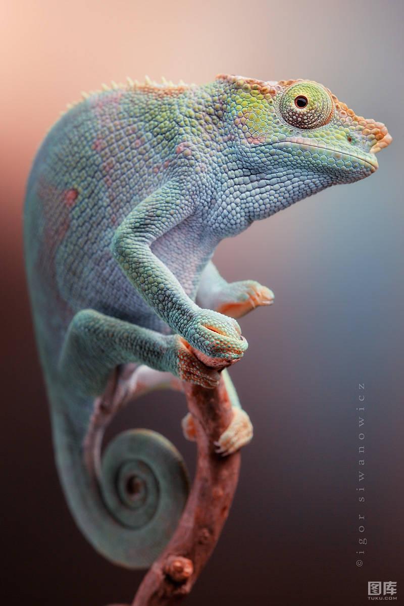 Trong vương quốc động vật, Igor chủ yếu tập trung chủ yếu vào các loài côn trùng, bò sát và lưỡng cư.