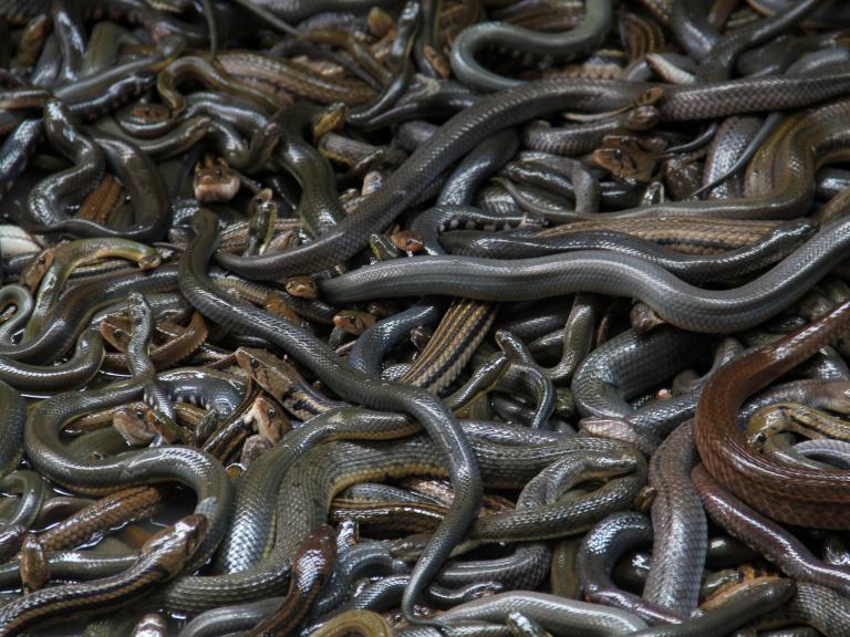 Ngoài rắn hổ lục đầu vàng, rất nhiều loài rắn nguy hiểm khác cũng sống tại nơi đây.