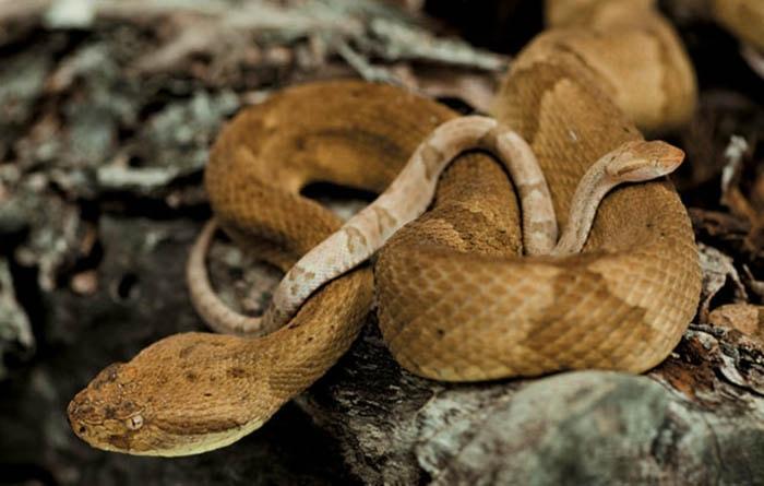 Chiều dài của rắn hổ lục đầu vàng khi trưởng thành có thể đạt tới hơn một mét và nọc độc của chúng mạnh gấp 5 lần so với nọc rắn trong đất liền.