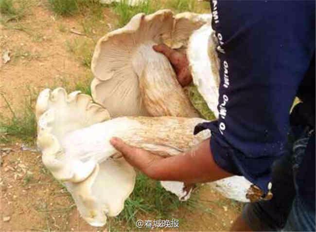Cây nấm khổng lồ vừa được phát hiện.