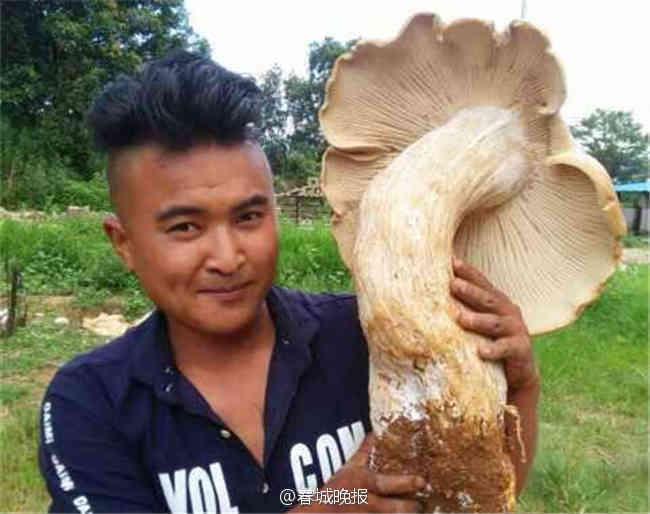Cây nấm lớn nhất có mũ với đường kính 66cm