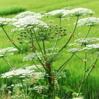 Phát hiện loài hoa tuyệt đẹp nhưng có thể gây mù mắt ở người