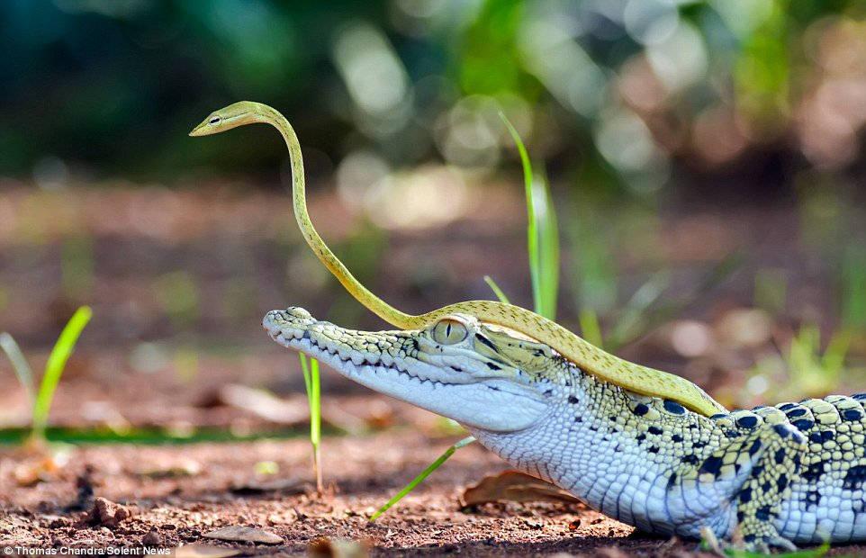 Con rắn xanh con trườn lên lưng và đầu cá sấu để nó có thể quan sát phía trước tốt hơn.