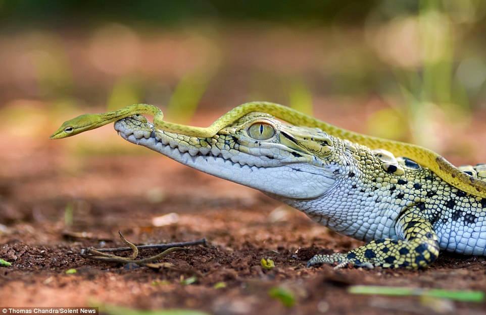 Con cá sấu dường như không quan tâm tới con rắn đang cưỡi trên đầu nó.