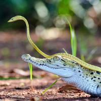 Rắn xanh cả gan cưỡi lên đầu cá sấu du ngoạn