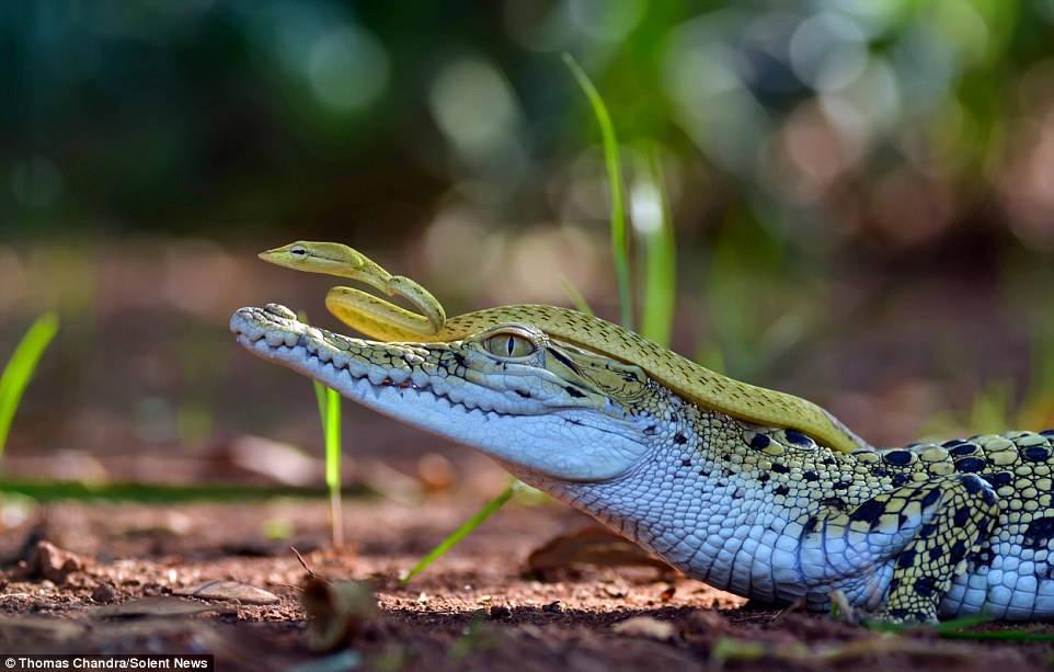 Cảnh tượng hiếm gặp giữa rắn và cá sấu này được nhiếp ảnh gia Thomas Chandra ghi lại sau khi ông quan sát chúng suốt 20 phút trong một khu vườn ở Tangerang, Indonesia