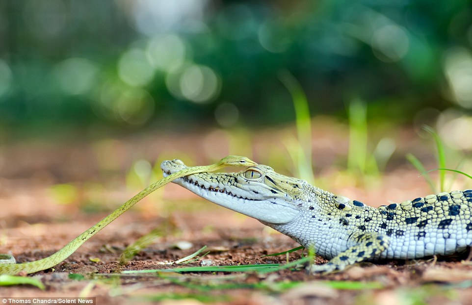 Sau một hồi, rắn xanh bò khỏi đầu con cá sấu và quay lại như muốn cám ơn người bạn mới quen trước khi biến mất trong bụi cây.