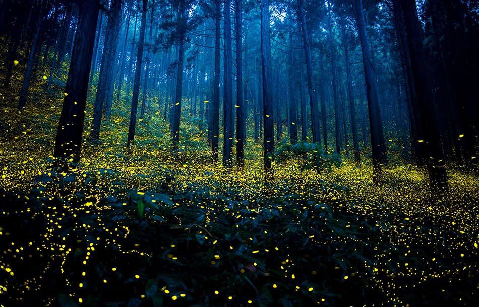 Mỗi mùa hè đến, những sinh vật kỳ diệu này lại biến các cánh rừng ở Nhật Bản trở thành sân khấu siêu đẹp để thể hiện màn trình diễn ánh sáng kỳ ảo của mình và hấp dẫn bạn tình.