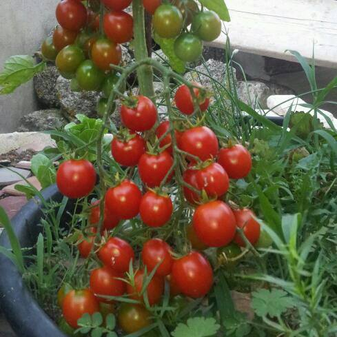 Quả sẽ xuất hiện từ khoảng 45-90 ngày tính từ thời điểm trồng cây xuống đất