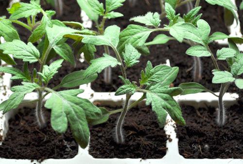 Cây con có 4-5 lá thật, cao 10-12 cm, khoẻ mạnh, thân mập đều là nhổ đem trồng ra chậu.