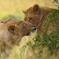 Sư tử đực rút mũi tên gây mê khỏi mình sư tử cái