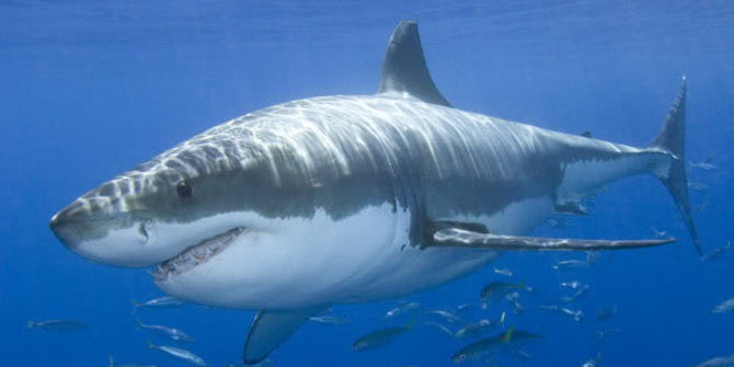 Cá mập trắng rất dễ gặp căng thẳng khi bị nhốt trong lồng,