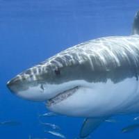Đây là lí do tại sao bạn không bao giờ thấy cá mập trắng trong bảo tàng hải dương học