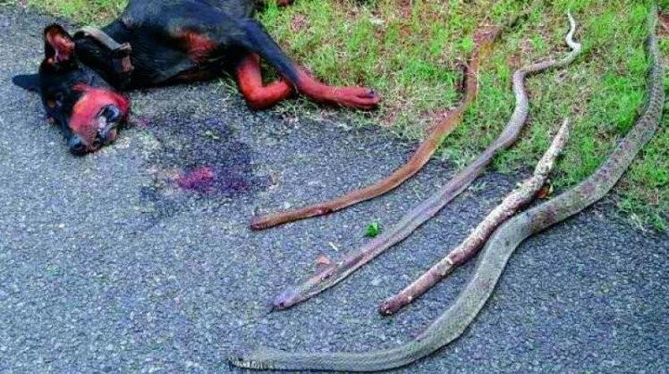 Chú chó một mình tiêu diệt 4 con rắn hổ mang và không qua khỏi do những vết cắn chết người của chúng