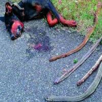 Chú chó anh hùng, hi sinh thân mình cứu gia chủ khỏi bầy rắn độc