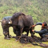 Bộ tộc sống dựa vào những con bò