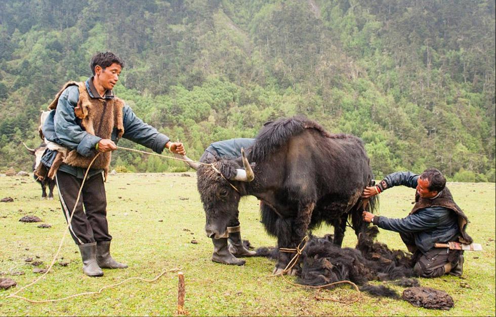 Chăm sóc bò yak là một công việc quan trọng của người Brokpa.