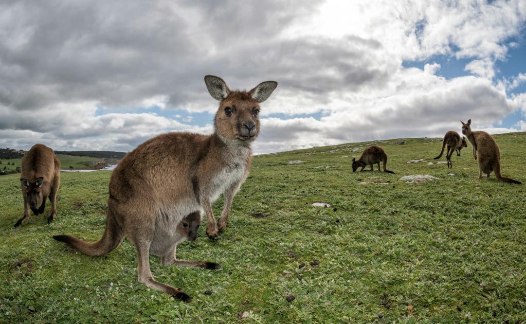 Đàn kangaroo nhởn nhơ gặm cỏ trên thảo nguyên xanh mướt ở miền nam Australia.