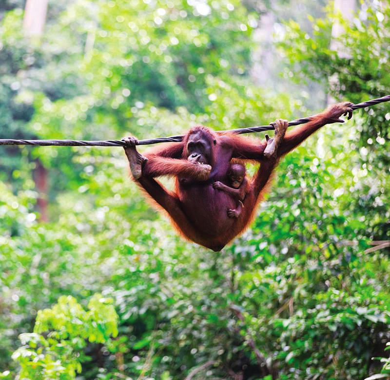 Đười ươi bế con nhỏ trong khi đu dây trong khu bảo tồn động vật hoang dã Thung lũng Danum ở Malaysia.