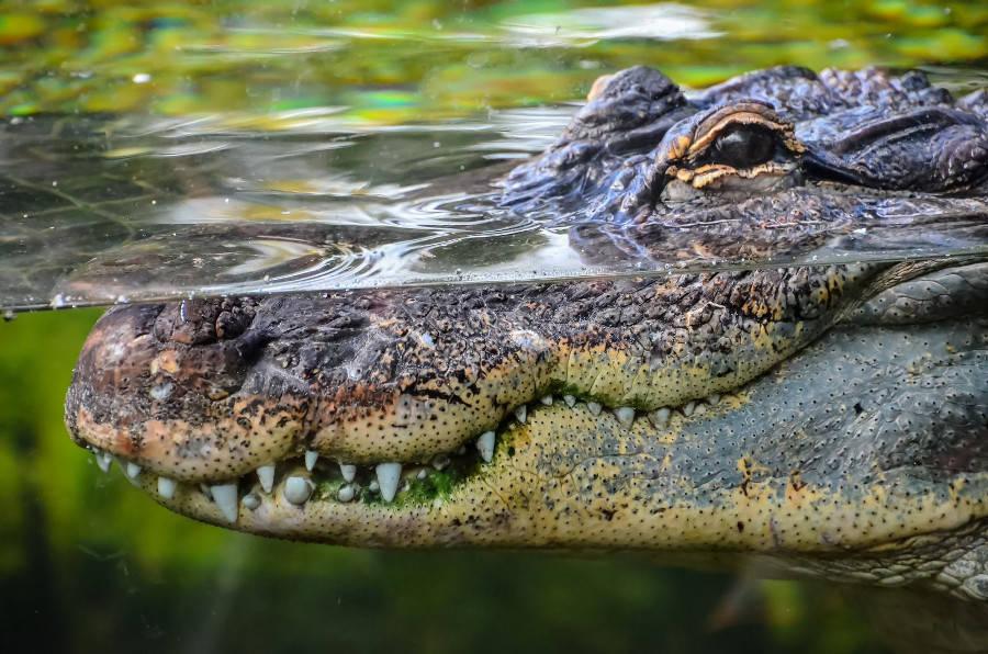 Cận cảnh hàm răng sắc nhọn của một con cá sấu nước mặn trong vườn quốc gia Kakadu ở Northern Territory, Australia