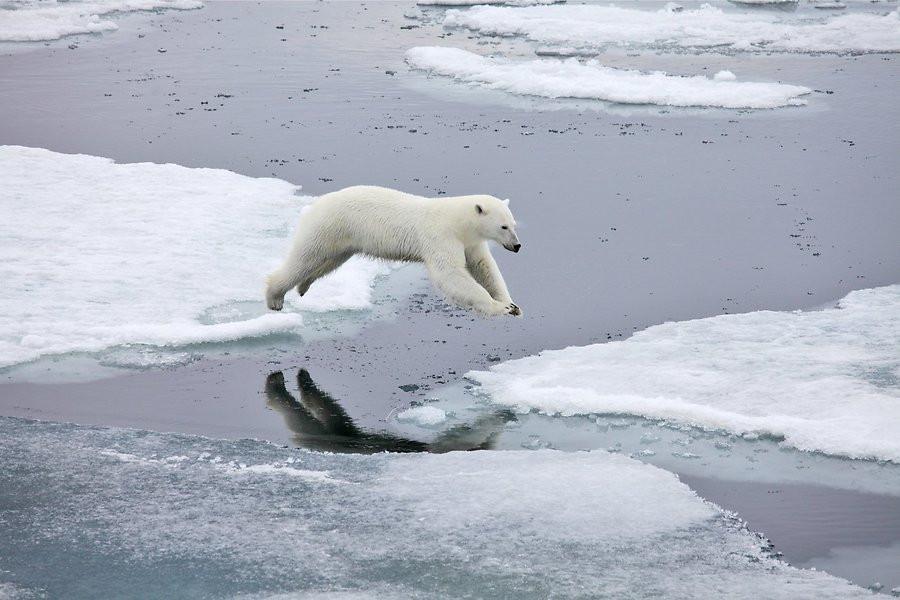 Gấu bắc cực nhảy qua nước lạnh giữa hai tảng băng gần đảo Svalbard ở Na Uy