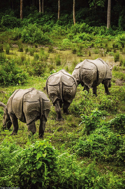 Tê giác một sừng tự do kiếm ăn trong vườn quốc gia Royal Chitwan ở Nepal.