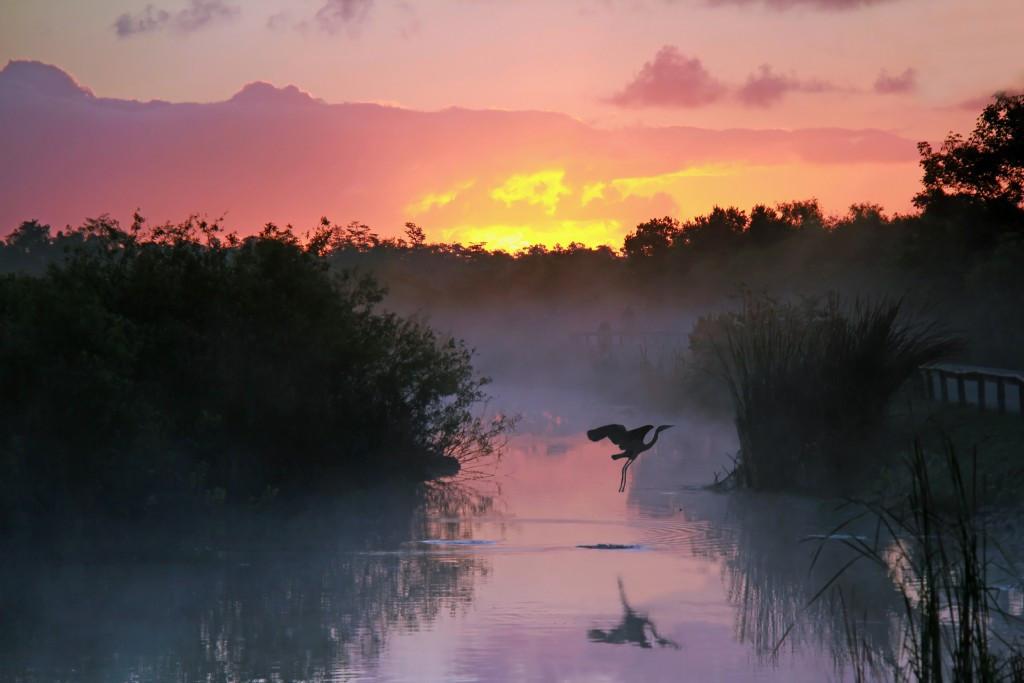 Con chim cất cánh bay lên khi phát hiện cá sấu dưới mặt nước tại một đầm lầy ở bang Florida, Mỹ.