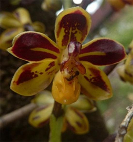 Đặc điểm nhận dạng loài Cleisostoma lecongkietii Tich et Aver.
