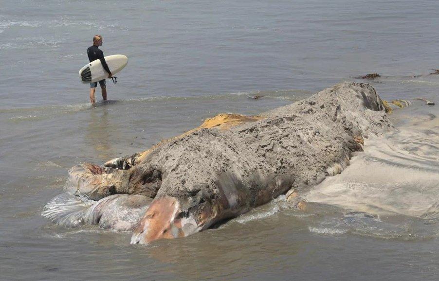 Mới đây, những hình ảnh về quá trình xử lý xác của một con cá voi lưng gù khổng lồ chết thảm ở bờ biển miền Nam California, Mỹ khiến nhiều người cảm thấy hãi hùng