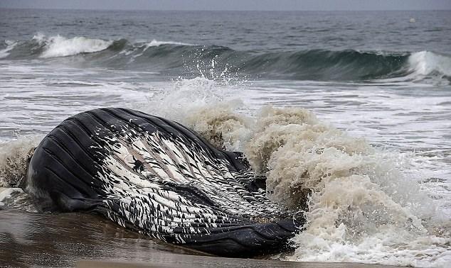 Sau đó, xác của cá voi cái Wally cũng được đội cứu hộ, đội xử lý môi trường di chuyển khỏi bãi biển để đảm bảo vệ sinh môi trường.
