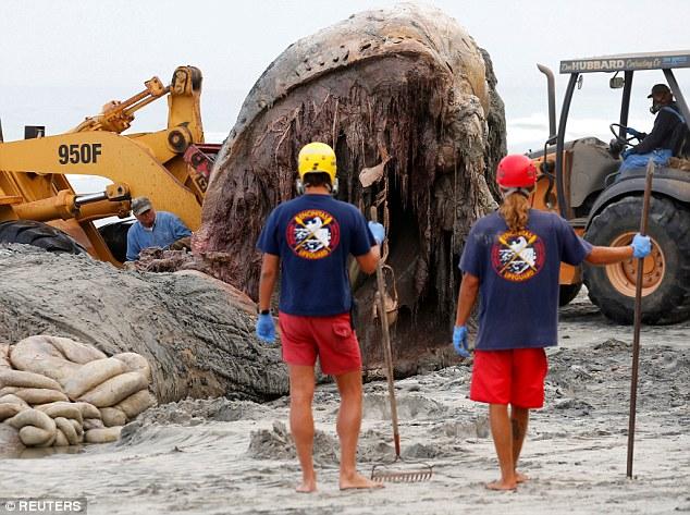 Các nhân viên cứu hộ phải đeo mặt nạ chống độc để tiếp xúc trực tiếp với xác con cá voi khổng lồ đang thối rữa, bị vi khuẩn thâm nhập.