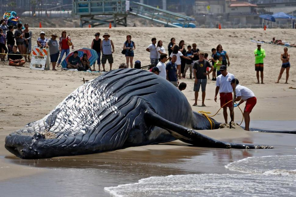 Trước đó ở bãi biển tiểu bang Dockweiler, Mỹ một con cá voi khổng lồ có tên là Wally cũng dạt bờ và chết thảm không rõ nguyên nhân.