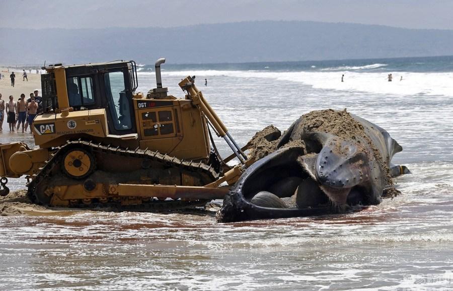 Các nhà chức trách cùng đội cứu hộ đã cố gắng đẩy xác của Wally vào lòng biển nhưng không thành công do thủy triều quá thấp.
