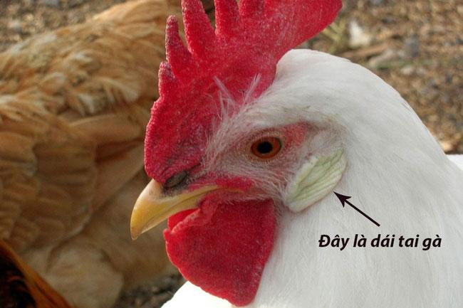 Đây là một con gà trắng, và nó sẽ sinh ra những quả trứng màu trắng.