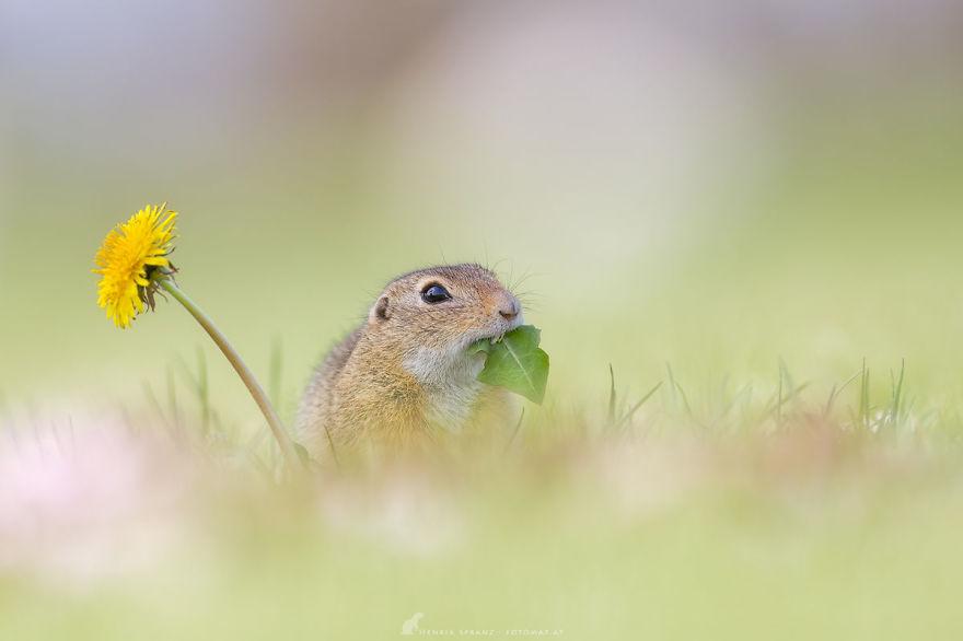 Chú sóc đất này không thể cưỡng lại vẻ đẹp rực rỡ của bông hoa đẹp