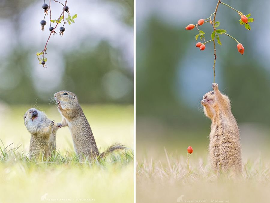 Cặp đôi sóc đất đang chia sẻ thức ăn với nhau. Chúng vừa ăn vừa chia sẻ với nhau những câu chuyện vụn vặt trong ngày.