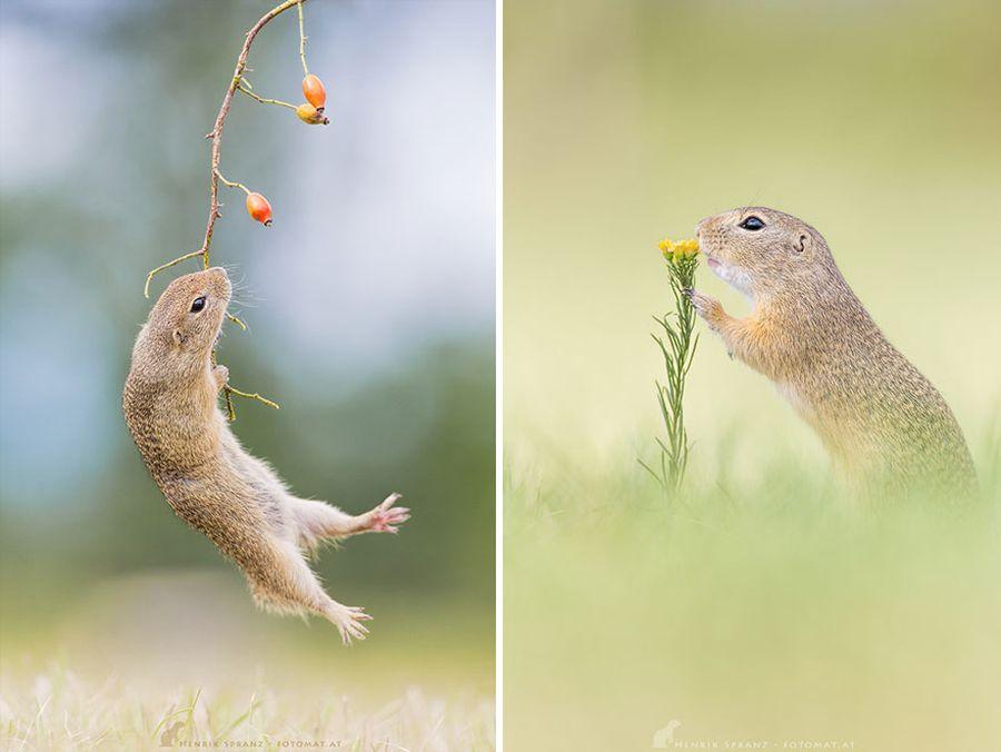 Những con sóc đất châu Âu thuộc loài gặm nhấm nhỏ, trong môi trường sinh sống tự nhiên của mình, chúng thể hiện đầy đủ bản tính nghịch ngợm, nhanh nhẹn