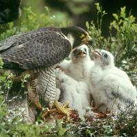 Loài người chỉ đáng xách dép cho loài chim này về tính chung thủy