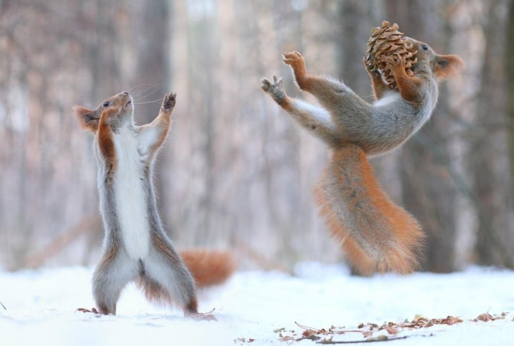 Khoảnh khắc hai chú sóc đỏ chuyền cho nhau quả thông trong rừng gần thị trấn Voronezh, Nga