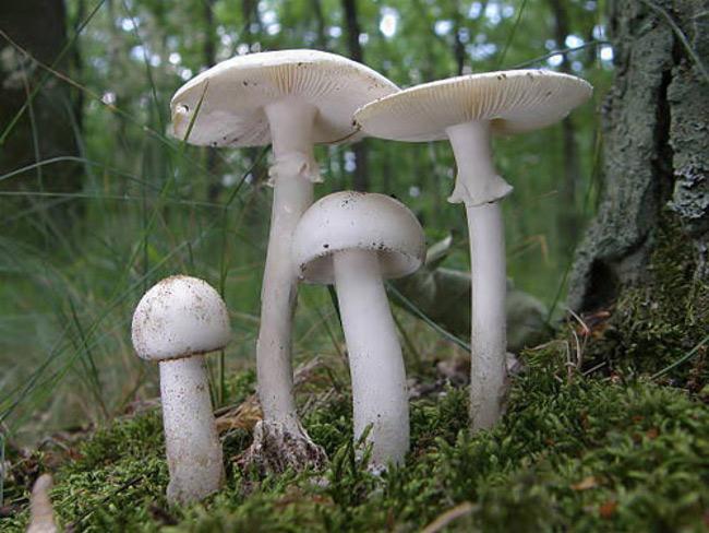 """Amanita verna còn được biết đến ở châu Âu với tên gọi """"nấm của kẻ ngốc"""", """"thần hủy diệt mùa xuân"""" hay """"thần chết""""."""