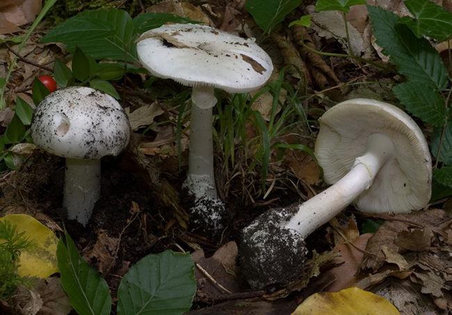 Theo một nghiên cứu trên Slate.com, khi vô tình ăn phải loại nấm này, 60% chất độc amatoxin của nấm sẽ đi thẳng vào gan.