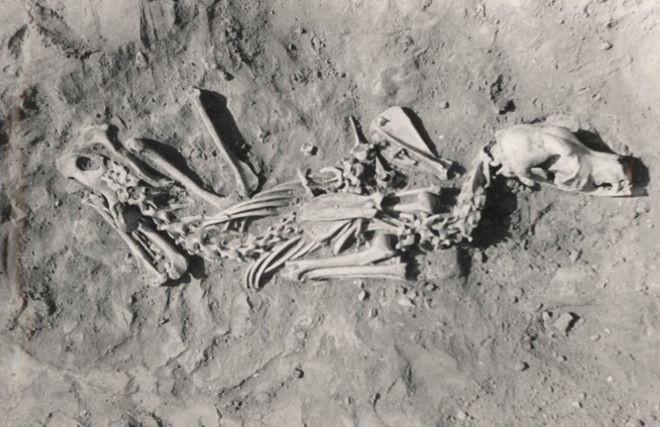 Năm 2013, giáo sư Losey đã từng công bố kết quả nghiên cứu về một nghĩa địa chó ở khu vực hồ Baikal tại Siberia.