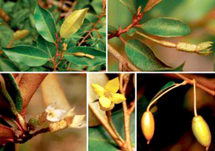 Đặc điểm nhận dạng loài Elaeagnus elongatus Tagane & V.S. Dang.