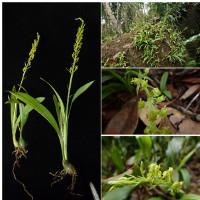 Phát hiện loài hoa lan mới ở Khánh Hòa