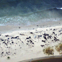 70 cá voi dạt bờ bí ẩn ở Chile