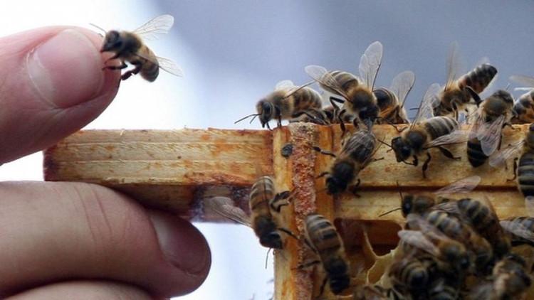 """Ở mỗi vùng khác nhau ong cũng có những """"ngôn ngữ"""" khác nhau."""