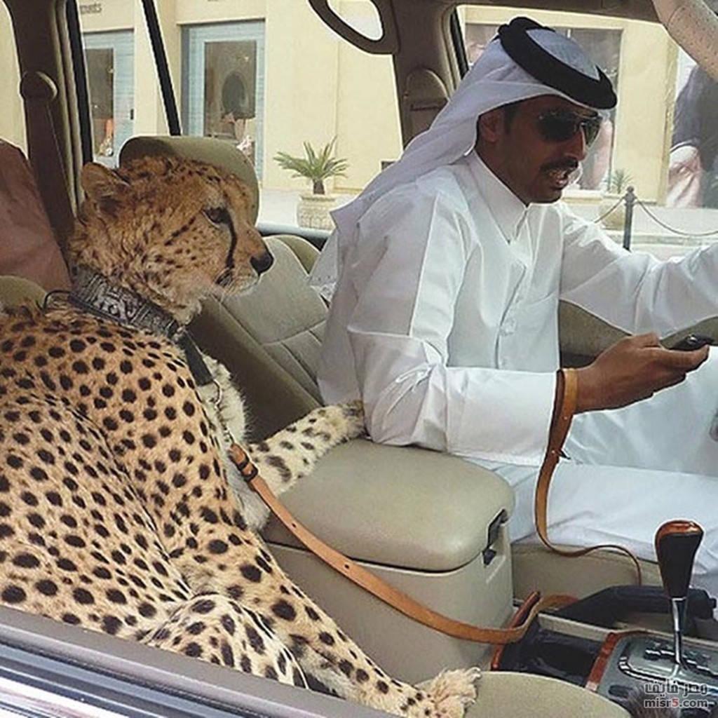 Báo và sư tử là hai loại động vật được giới nhà giàu Dubai ưa thích nhất
