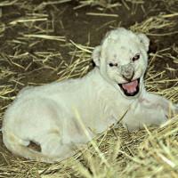 Sư tử trắng quý hiếm ra đời ở Mỹ