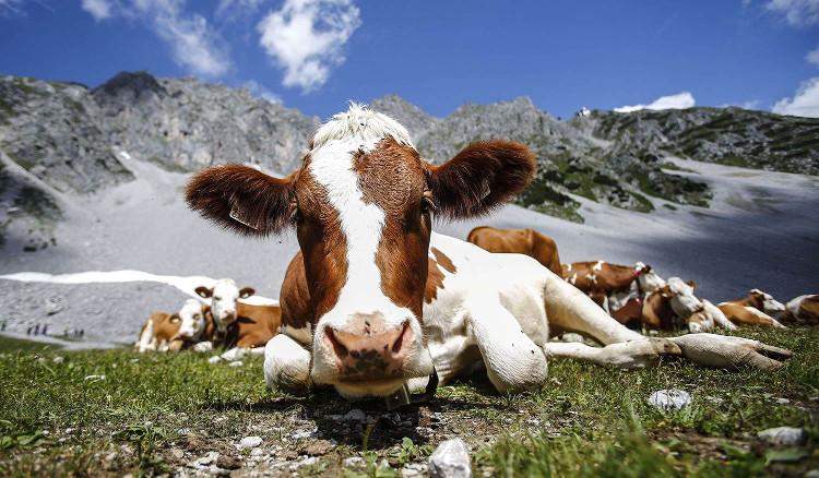 Những con bò được nuôi trong môi trường chăn thả tự nhiên.
