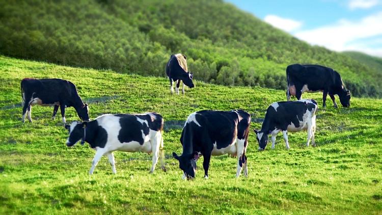 Sau khi điều trị bằng serotonin, những con bò bắt đầu tạo ra lượng sữa có nồng độ canxi cao hơn đáng kể.